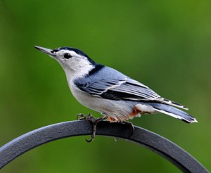white_breasted_nuthatch_7[1]